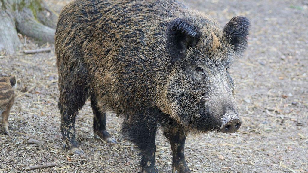 Gijsbert zag zwijn aangereden worden: 'Dat doet wat met je'