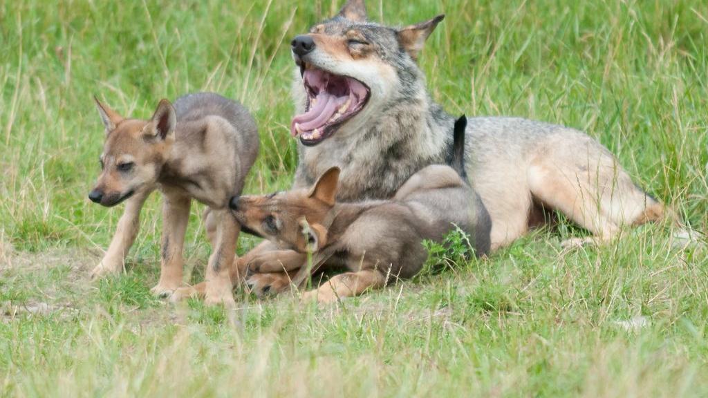 Hoofd bij Park Hoge Veluwe lijnrecht tegenover ecoloog die wil dat we 'leven met de wolf'