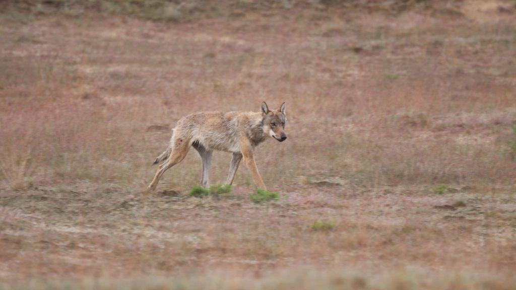 Toch DNA-onderzoek naar gedode moeflons op Hoge Veluwe: was het echt een wolf?