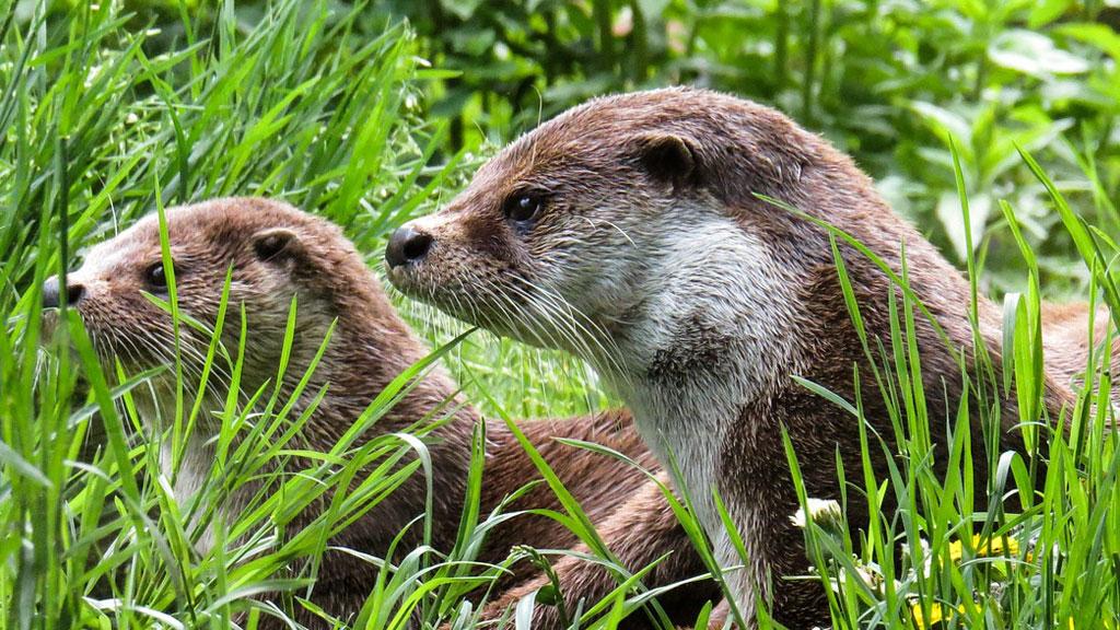 Otters leggen ook het loodje door het verkeer in Dieren