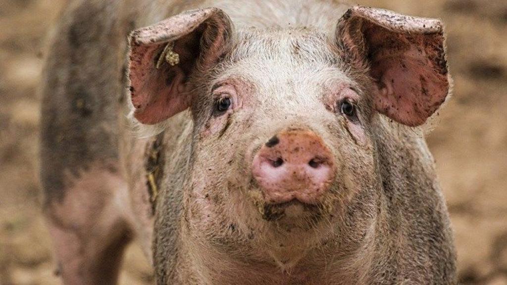 Medewerkers van Gosschalk in Epe mishandelden varkens. Foto: Pixabay