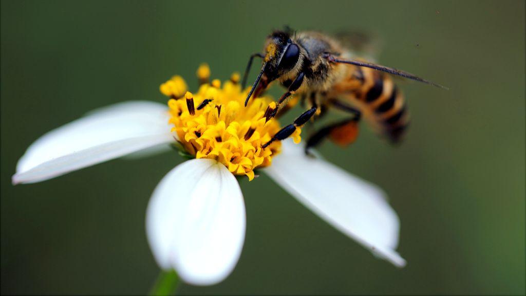 Wageningse onderzoekers hebben bijen getraind om corona te ruiken. Foto: Pexels