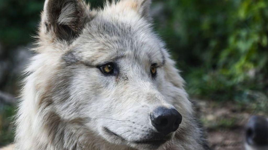 Niet de bewuste wolf. Foto: Pixabay