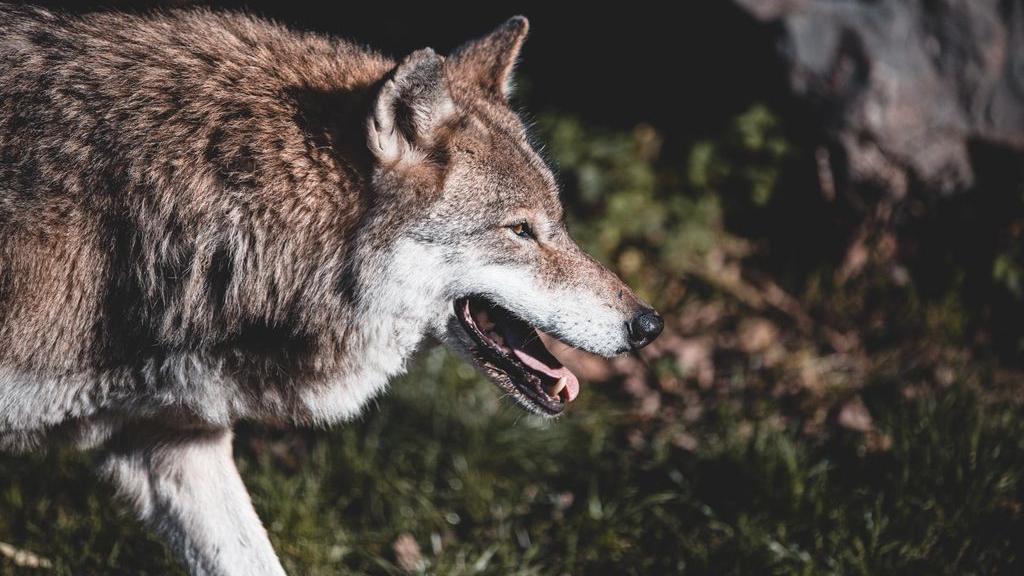 Er is een wolf gespot op de Veluwe en dus laait de discussie weer op