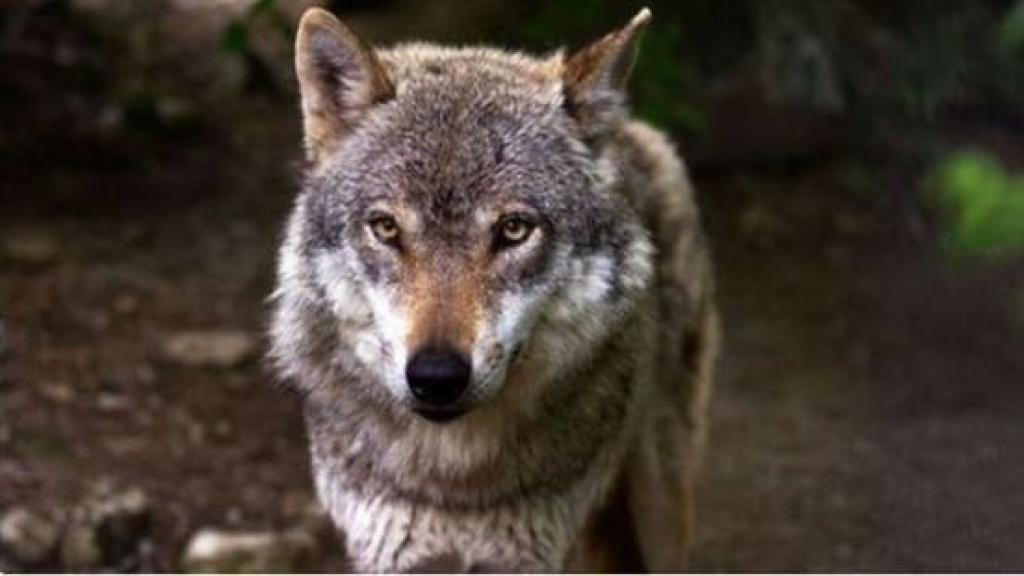 Wolf Foto: Pixabay