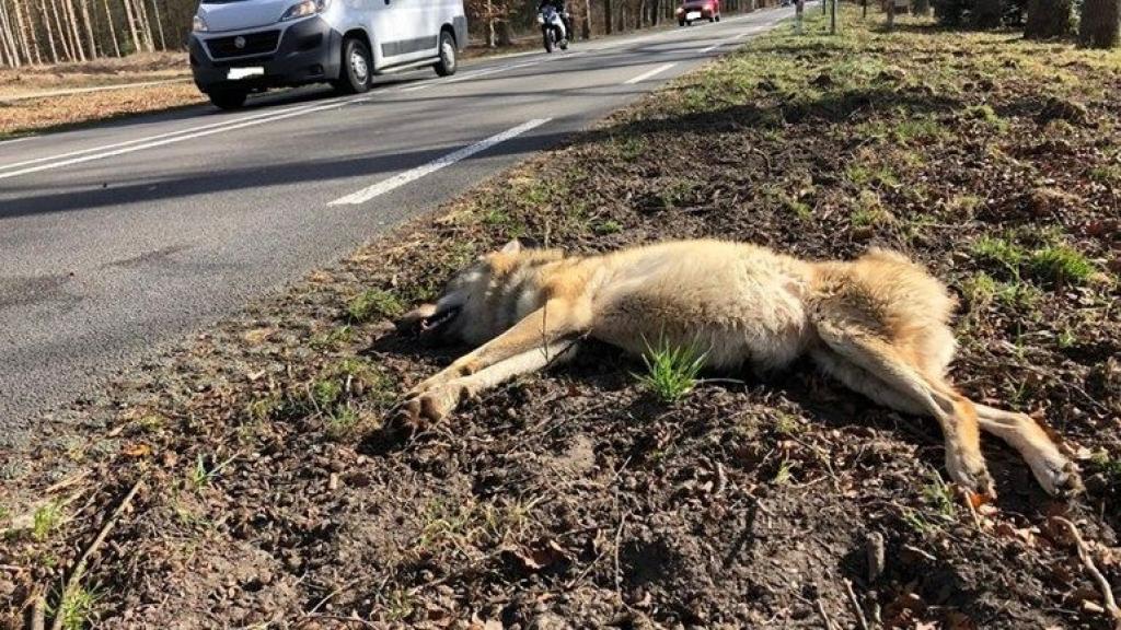 Doodgereden wolvin had een longontsteking