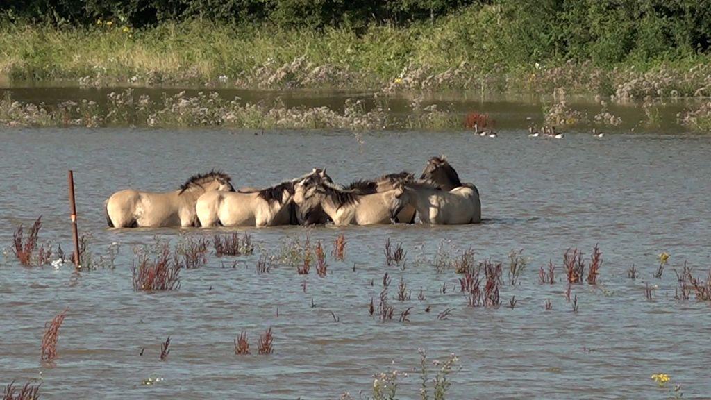 Geen reden tot zorg om paarden in uiterwaarden Weurt Foto: Omroep Gelderland