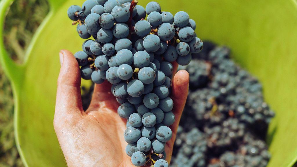 Gelderland stevent af op een slecht wijnjaar