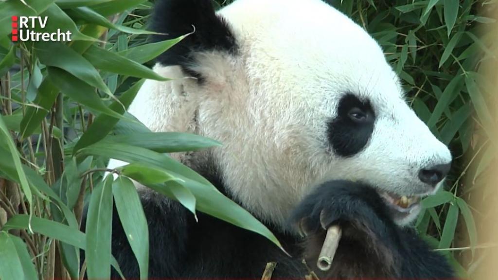 Panda Fan Xing wordt één, dierentuindirecteur blikt terug op roerig jaar: 'Corona domper op feestvreugde'