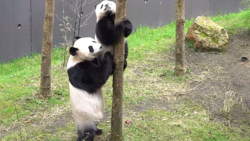 Pandajong Fan Xing viert zijn eerste verjaardag in Ouwehands Dierenpark