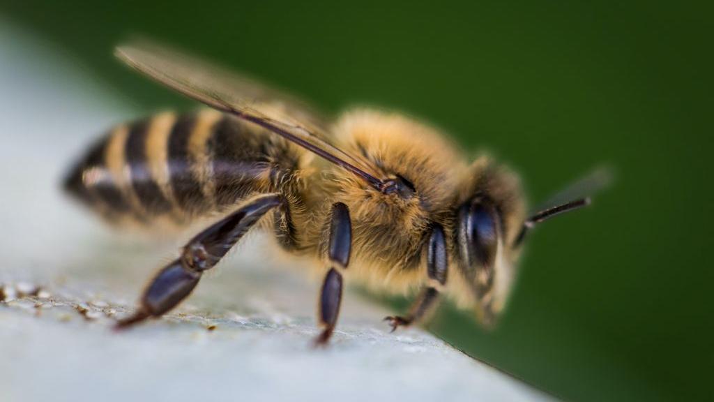 Deze speciaal getrainde bijen kunnen pandemieën voorkomen