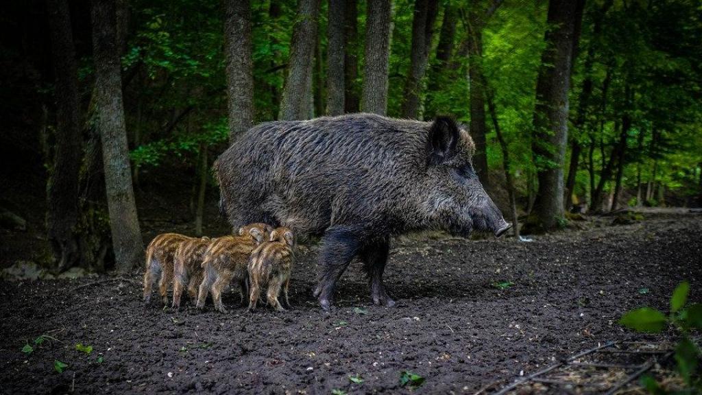 Recordaantal wilde zwijnen afgeschoten op de Veluwe