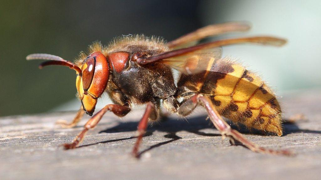 Kun je zelf een beginnend wespennest nog weghalen?