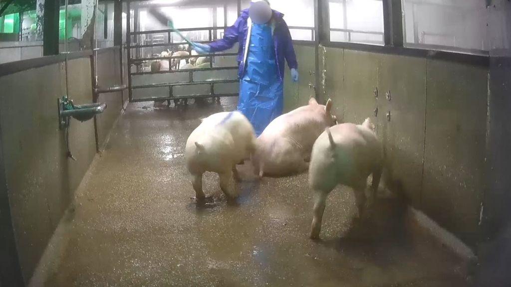 Uit undercoverbeelden van Varkens in Nood bleek dat de dieren mishandeld werden. Foto: Varkens in Nood