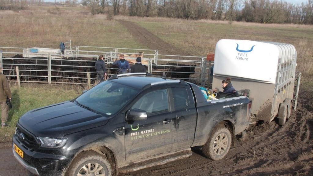 Galloways en Konikpaarden verplaatst in verband met verwacht hoogwater