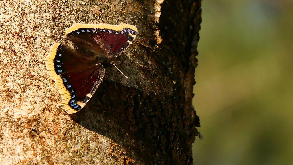 Siberische vlinders duiken op in Gelderland