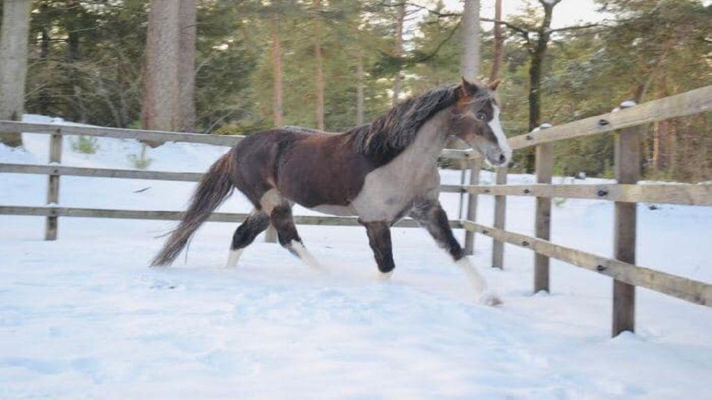 Snickers, de weggelopen pony Foto: Facebook Manege Samoza