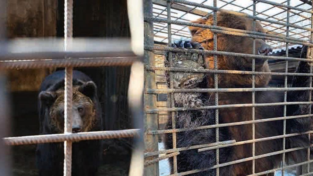 Ernstig verwaarloosde beren uit Oekraïne komen naar Ouwehands in Rhenen