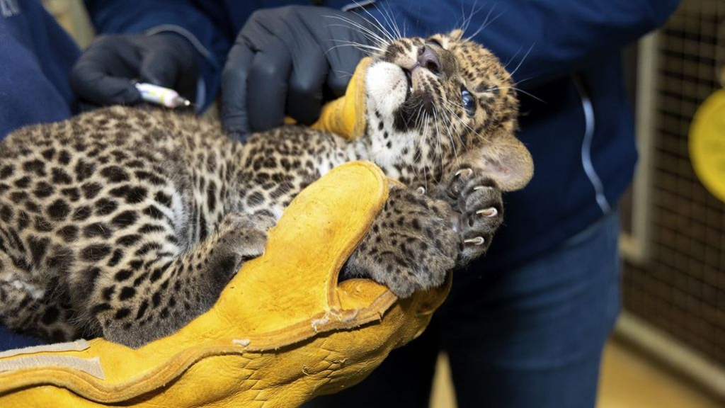 Pasgeboren zeldzame panter in Burgers' Zoo is een vrouwtje