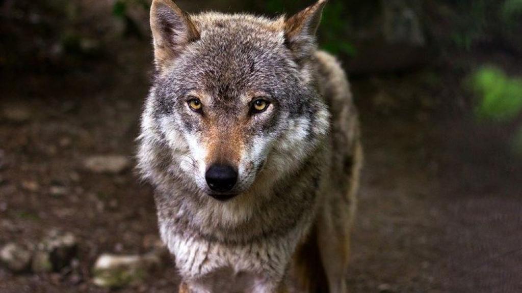 Drie wolvenwelpen geboren op de Noord-Veluwe