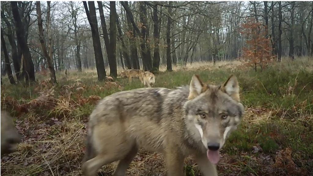 BEKIJK DE BEELDEN | Wolvenfamilie loopt rond op de Veluwe