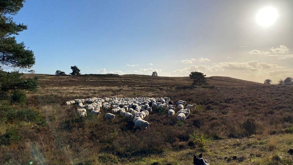 Schaapherders nemen maatregelen nadat wolf schaap doodbeet