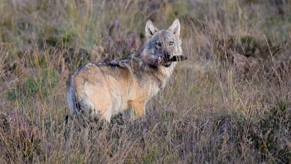 Een wolf op de Veluwe. Foto: Hilco van Fransooijs
