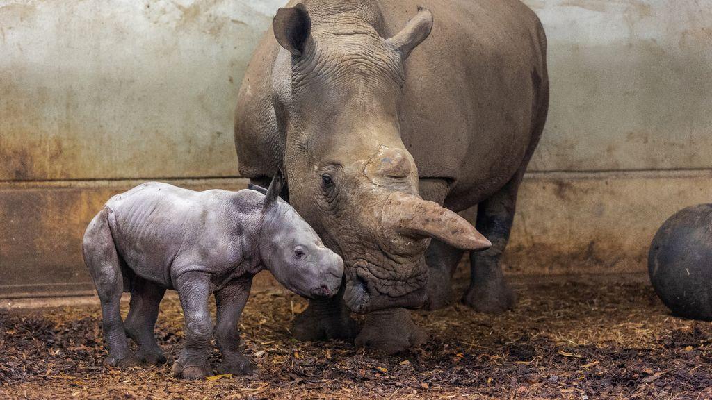 Neushoorntje geboren in Burgers' Zoo