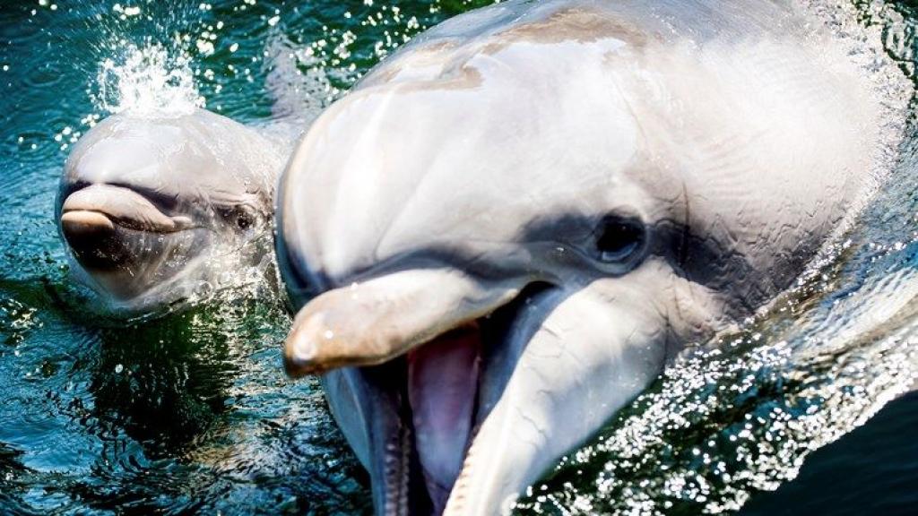 Dolfinarium slaat nieuwe weg in, roep om einde aan fokprogramma