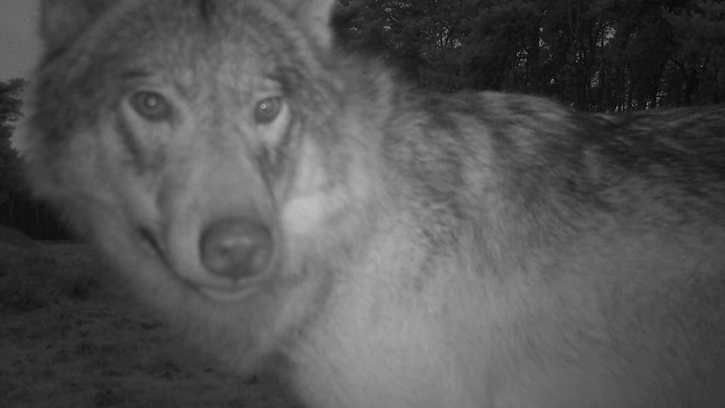 Een van de wolven op camerabeelden van Natuurmonumenten. Foto: Natuurmonumenten