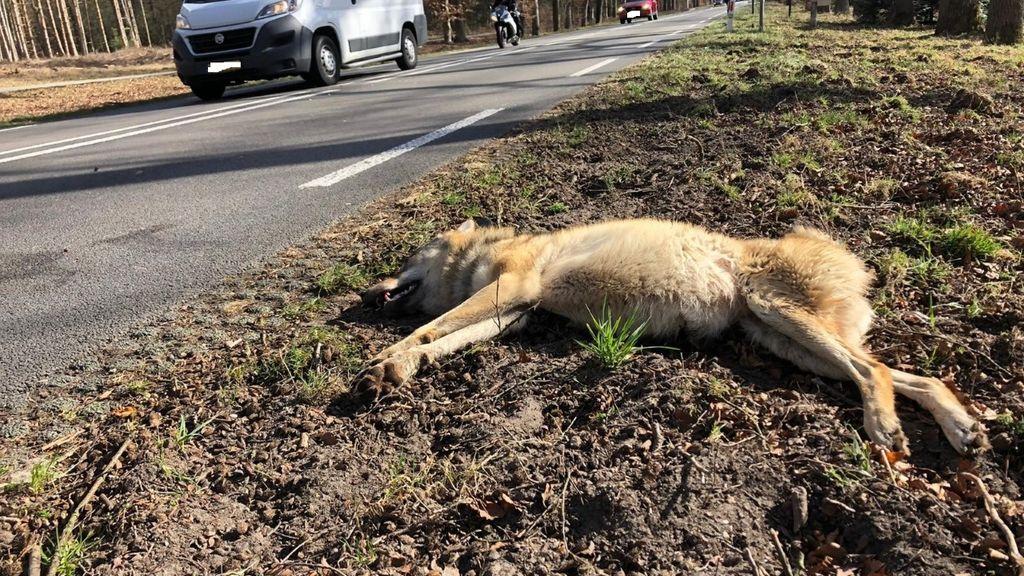 De wolvin bezweek aan haar verwondingen na de aanrijding. Foto: Provincie Gelderland