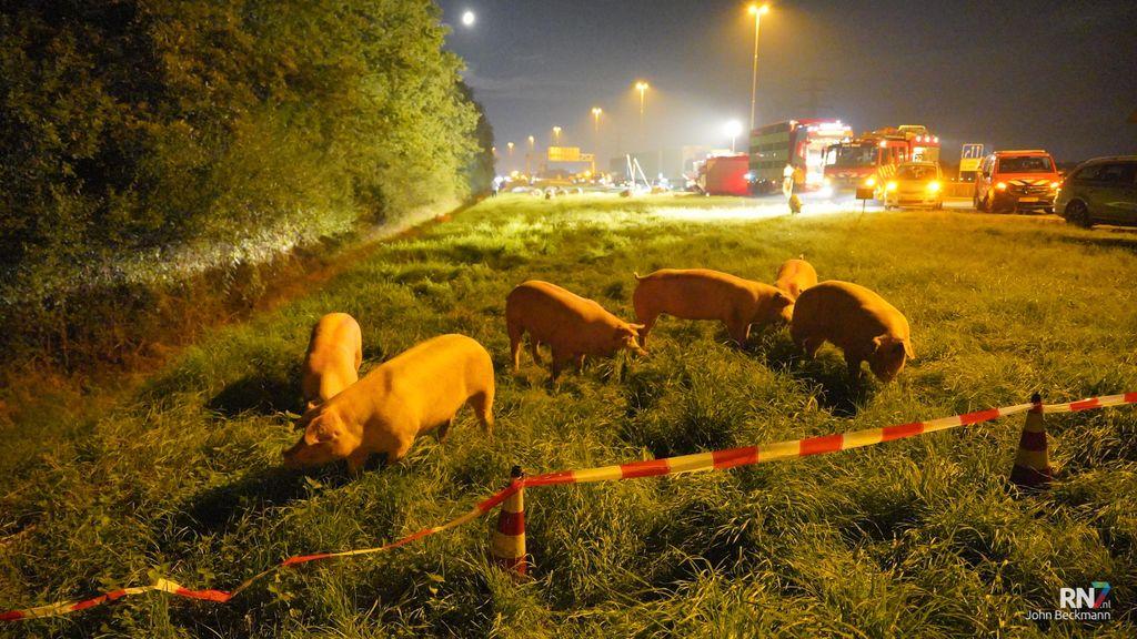 Trailer met varkens gekanteld op snelweg A73