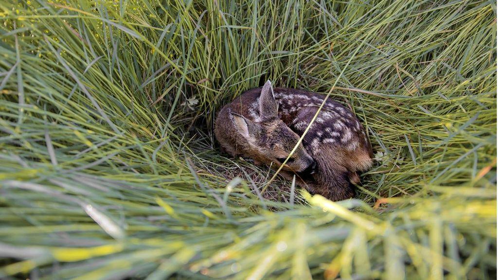 Een reekalfje in het hoge gras. Foto: Wildbeheereenheid Oldebroek/Oosterwolde