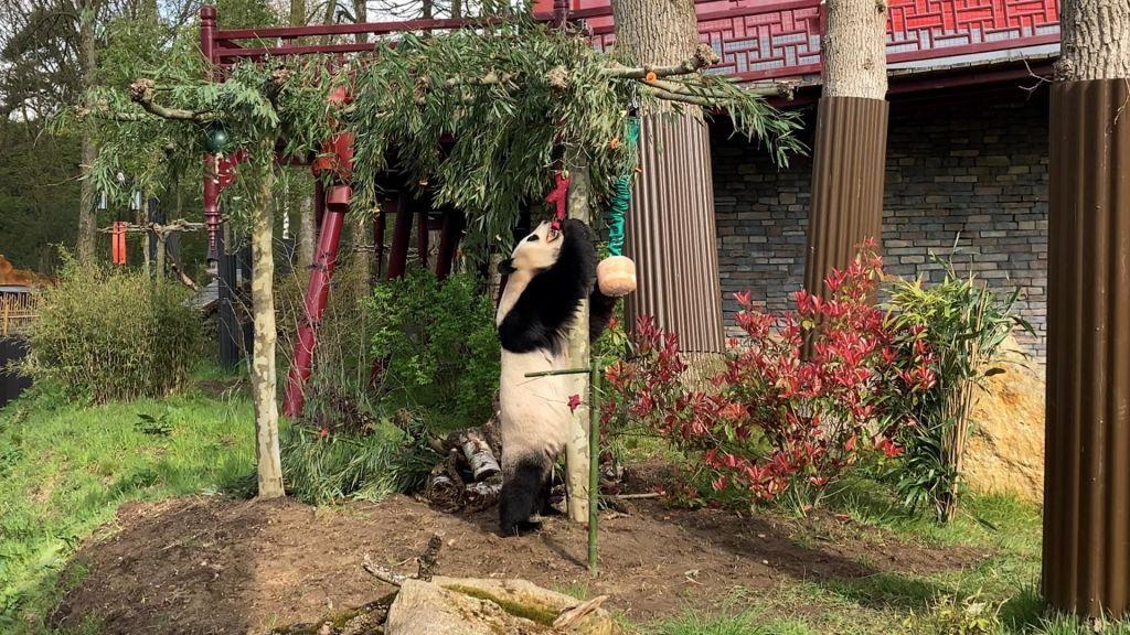 Pandajong Fan Xing is vandaag jarig, maar hij laat zijn moeder de cadeaus uitpakken