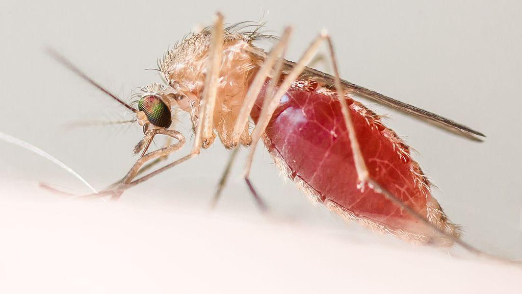 Waarom alleen vrouwtjesmuggen ons bloed wel kunnen drinken