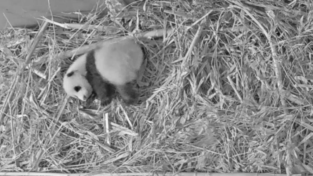 Kijk hier live naar het reuzenpandajong in Ouwehands Dierenpark