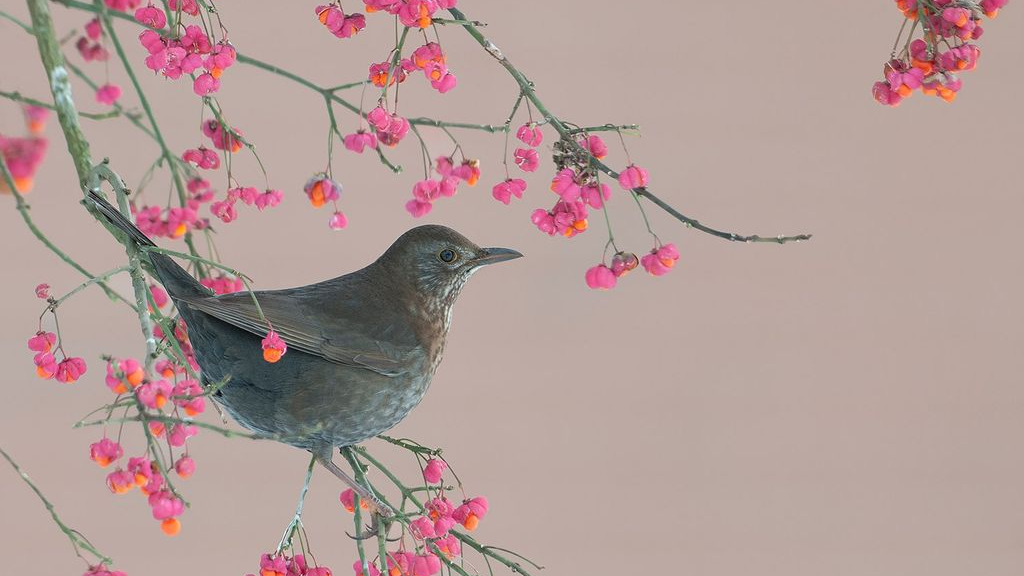 Help vogels en plant een vogelbosje met bessen