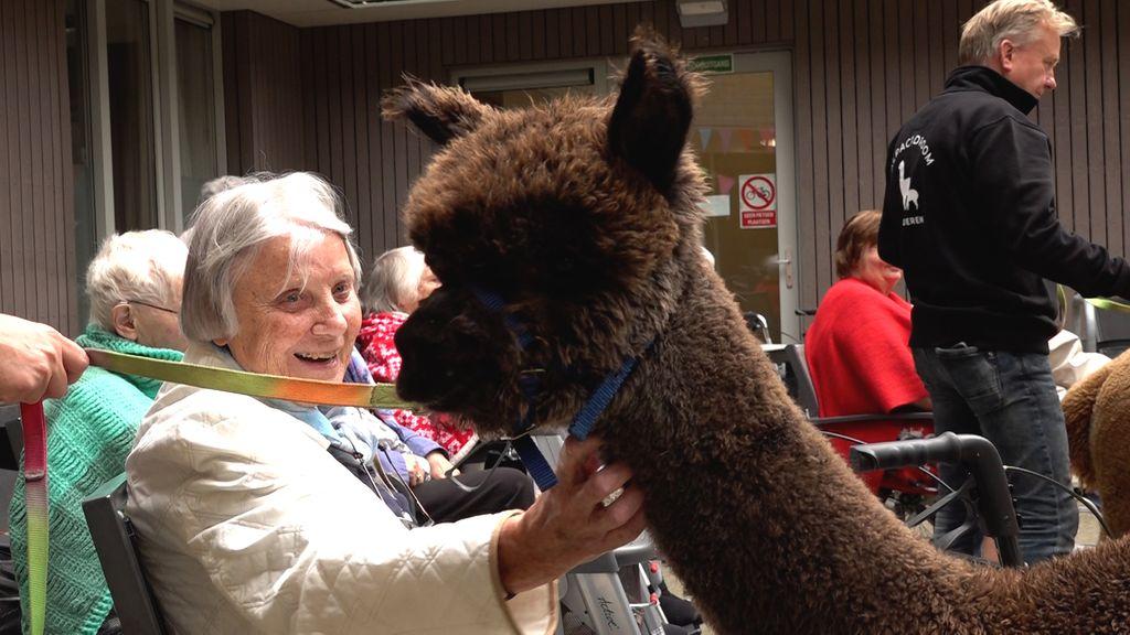 Ouderen knuffelen en wandelen met alpaca's: 'Het is echt prachtig'