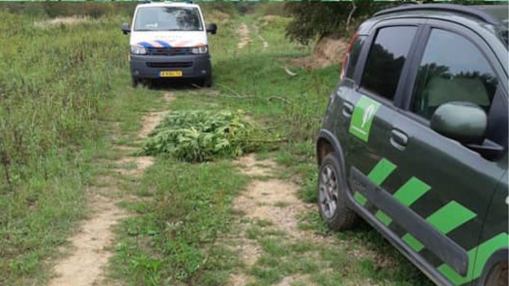 Staatsbosbeheer vindt hennepplanten in de Millingerwaard