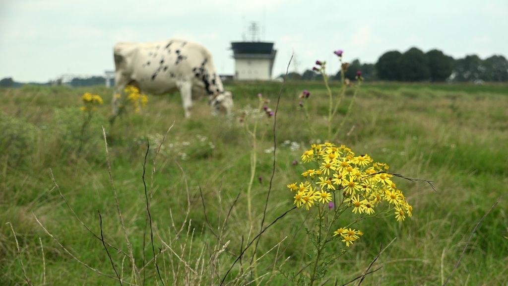 Boeren vrezen opmars giftig geel kruid in de wei: 'Biodiversiteit is goed, maar Jacobskruid niet'